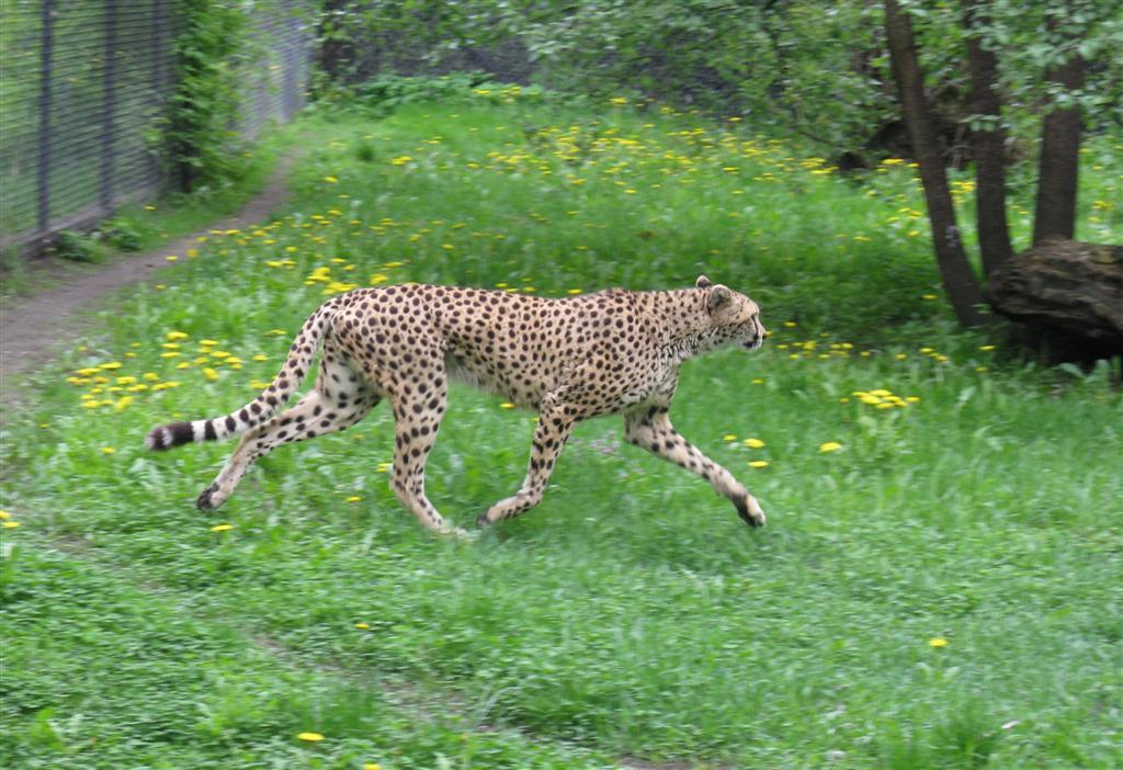 Bieg dookola zoo 2010_gizynski-gepard