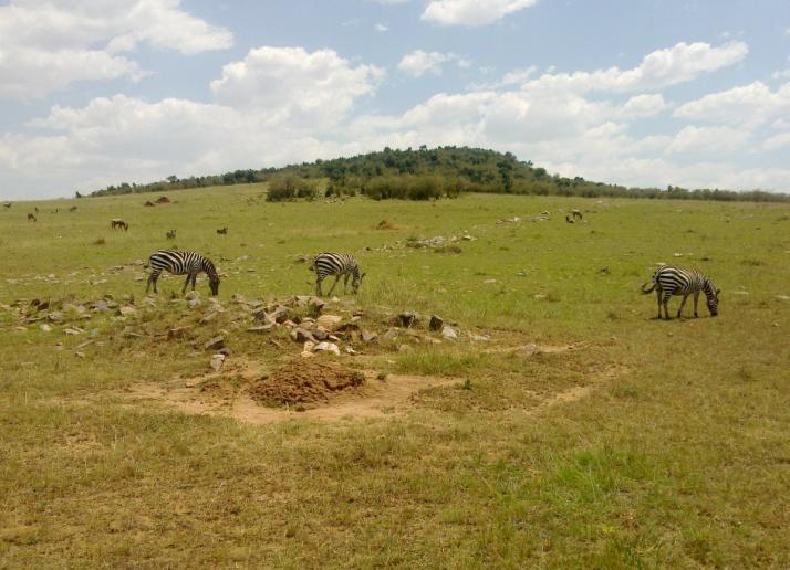 zebry-kenia-2011-gizynski